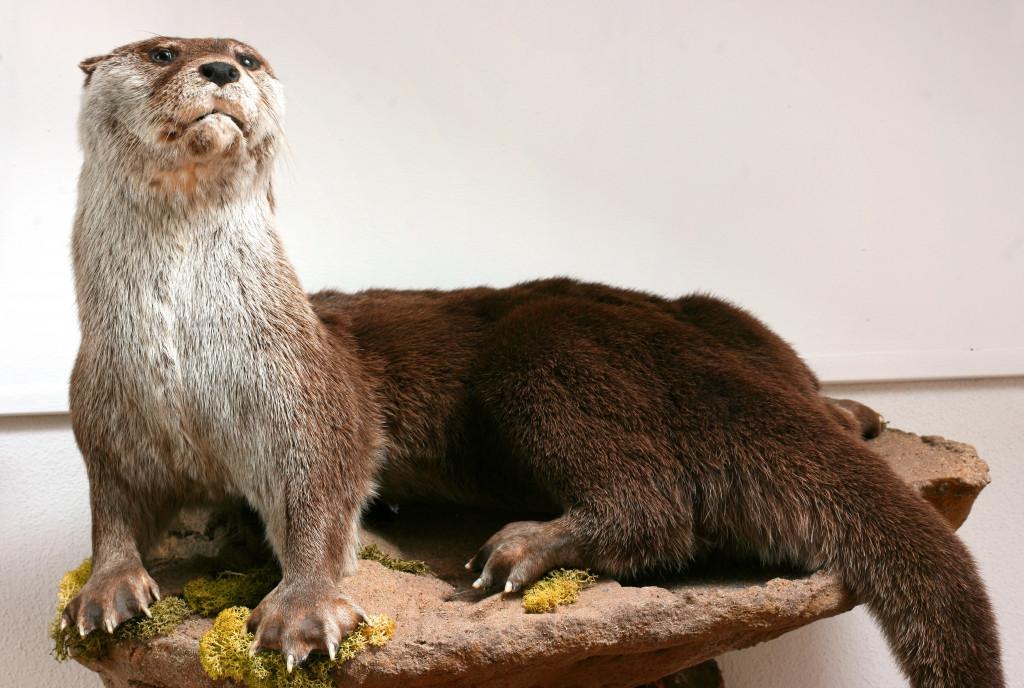 Otter Taxidermy